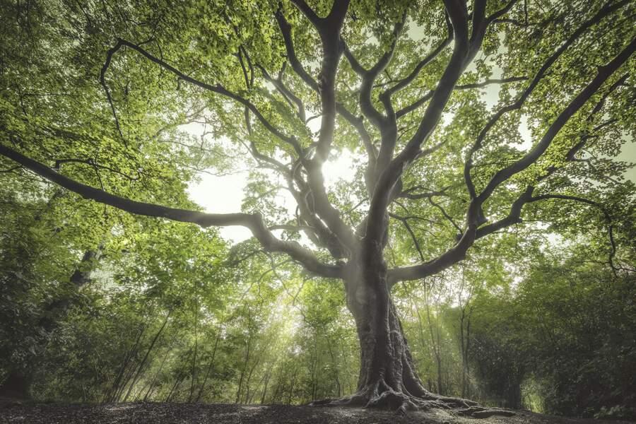 Pays-Bas : l'arbre sorcier