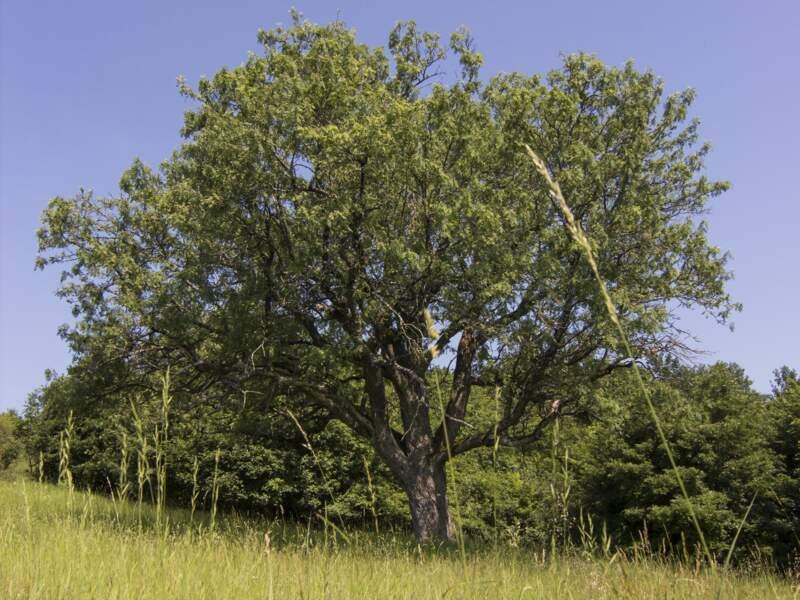 Slovaquie : l'arbre cormier