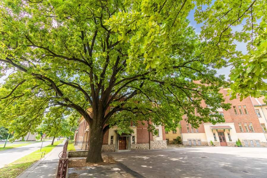 Hongrie : l'arbre de la Liberté de Kaposvár