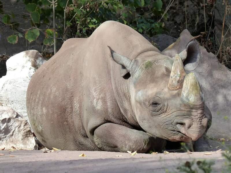 Le rhinocéros noir victime du braconnage