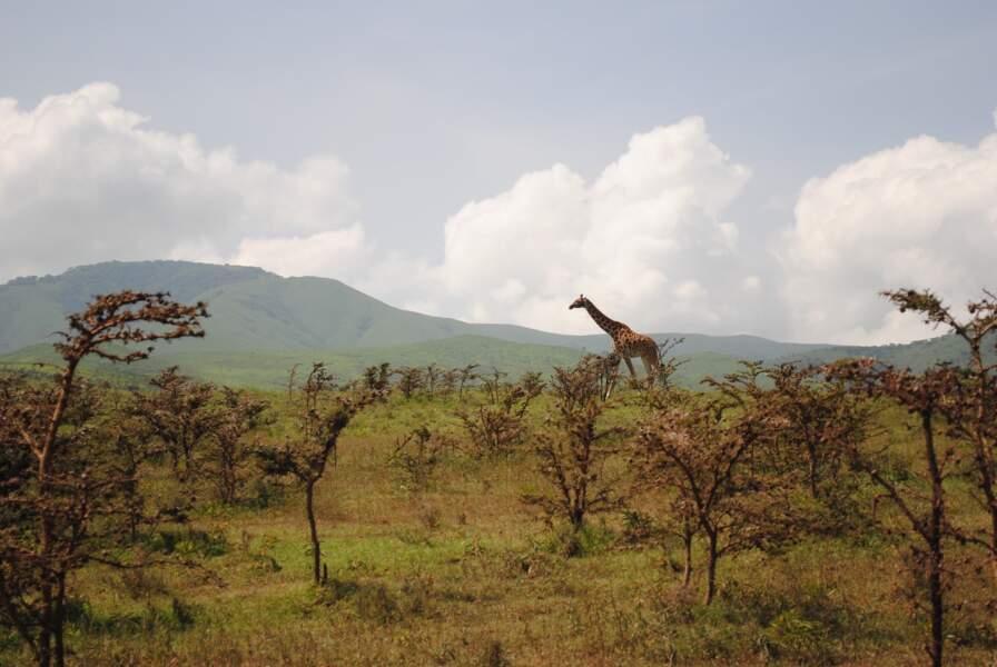 L'avenir des girafes reste fragile
