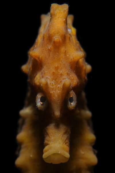 Hippocampe fâché