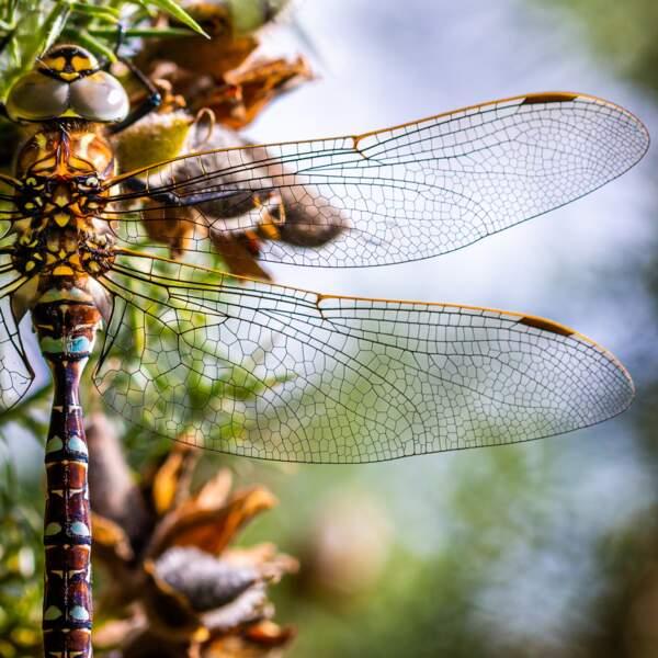 La délicatesse de la libellule