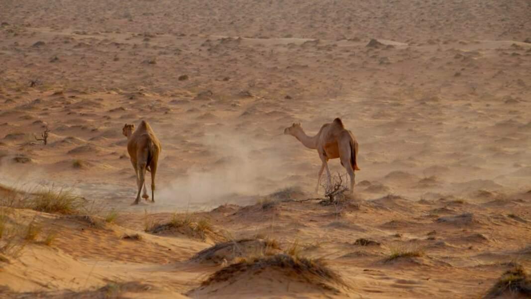 Dromadaires dans le désert