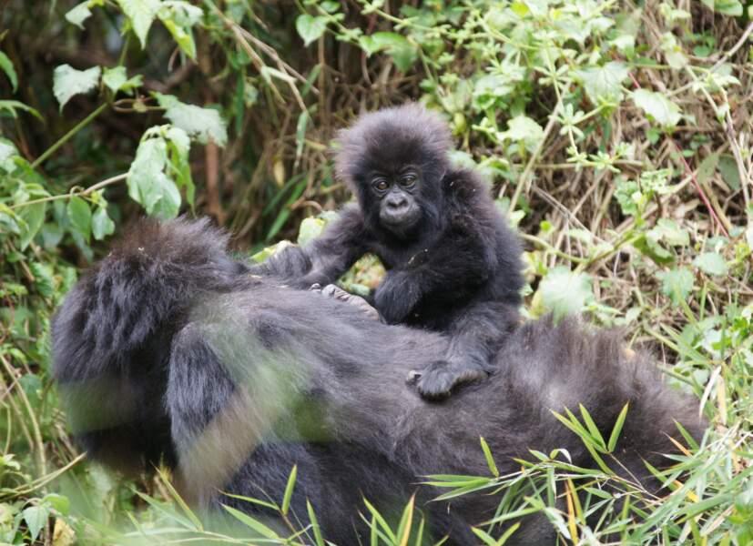Le parc national des Virunga à cheval entre le Rwanda, la République démocratique du Congo (RDC) et l'Ouganda