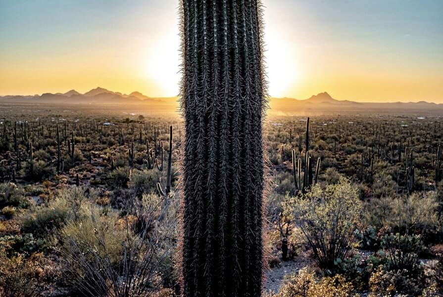 Les saguaros, victimes du trafic