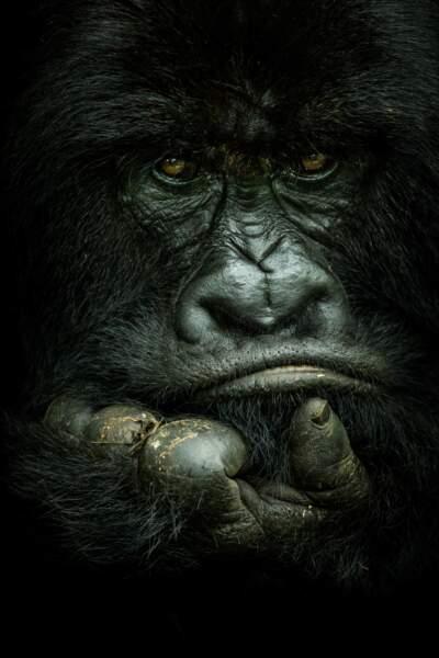 Gorille à dos argenté en RDC