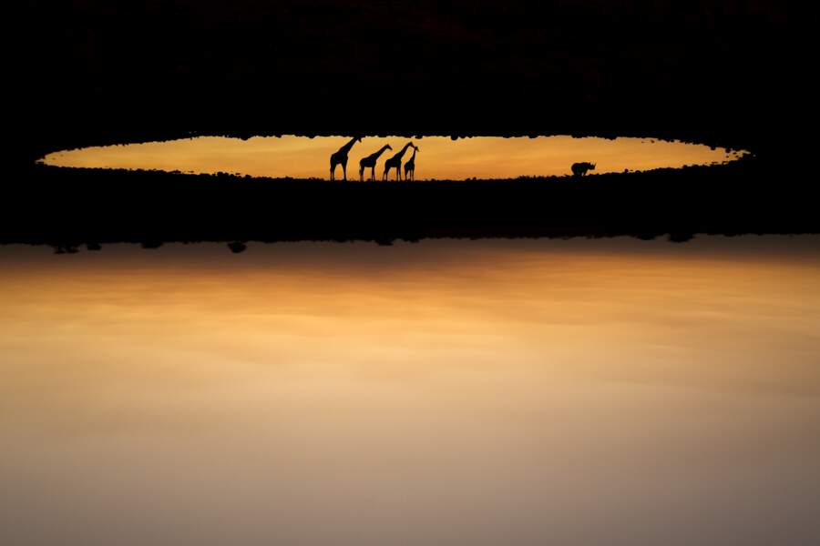 Girafes en Namibie