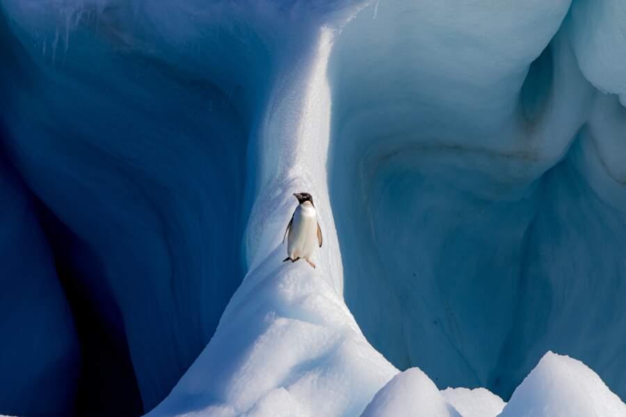 Manchot Adélie perché sur un iceberg