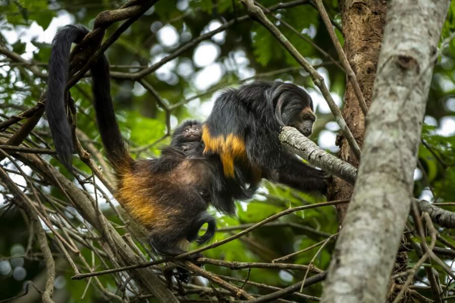 Le Tamarin-lion à face noire du Brésil