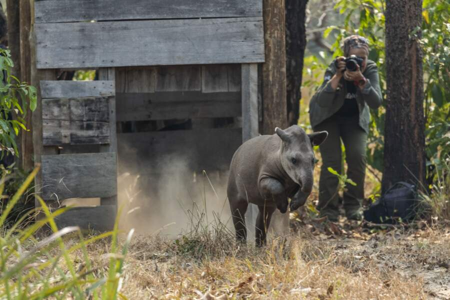 Les tapirs du Brésil