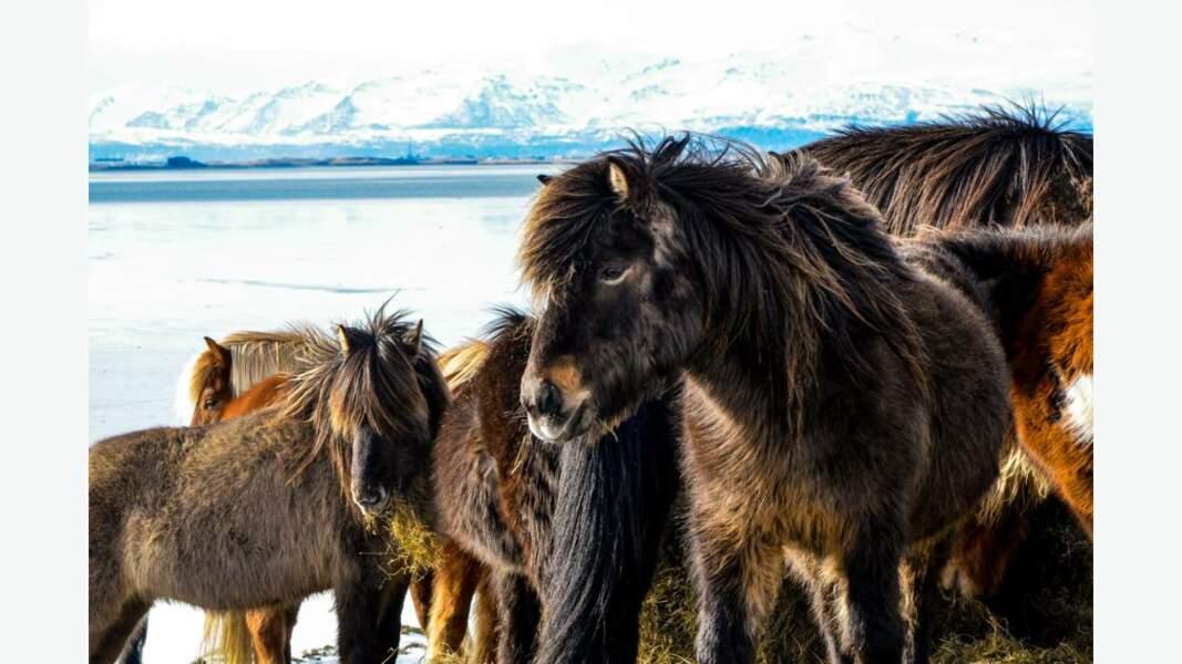 Chevaux d'Islande
