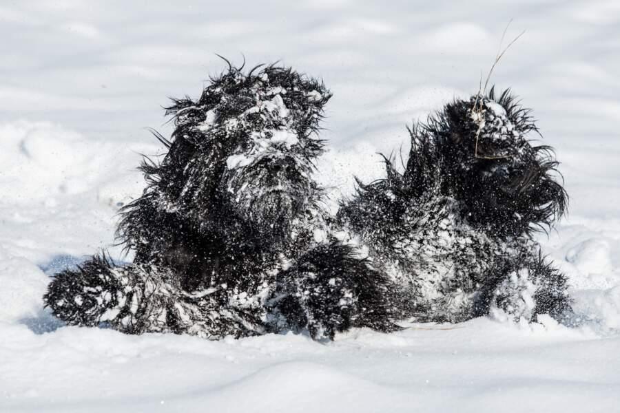 En République tchèque, l'abominable chien des neiges