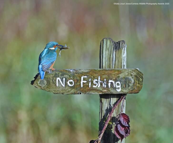 Martin-pêcheur... moqueur