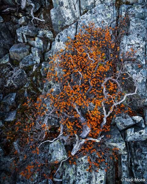 Arbuste tasmanien