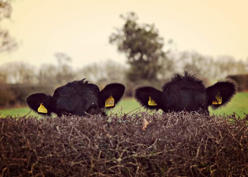 Vaches en planque dans la bourgade anglaise de Nether Whitacre