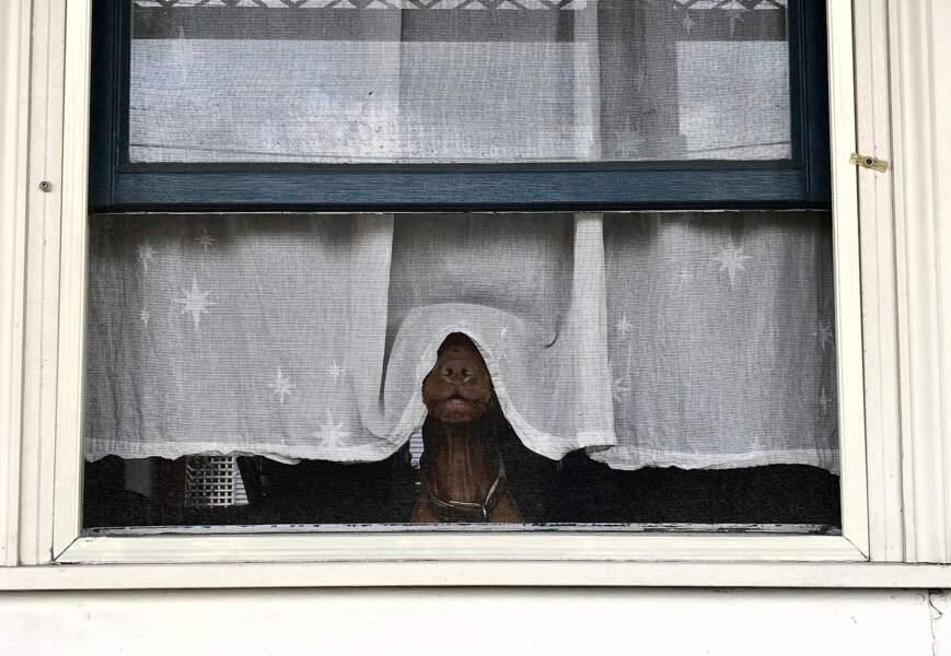 A Melbourne (Australie), ce braque hongrois à poil court a bien respecté le confinement