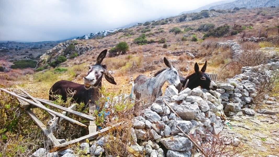 Anes grecs d'Amorgos