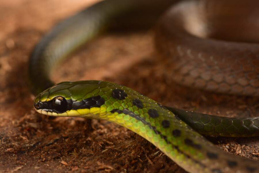 Un serpent aux couleurs boliviennes