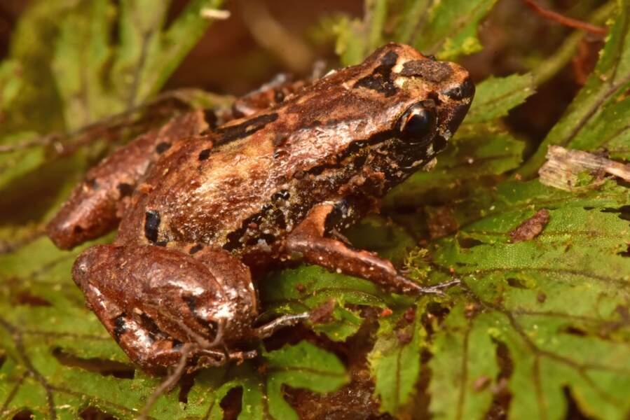 L'une des plus petites grenouilles au monde