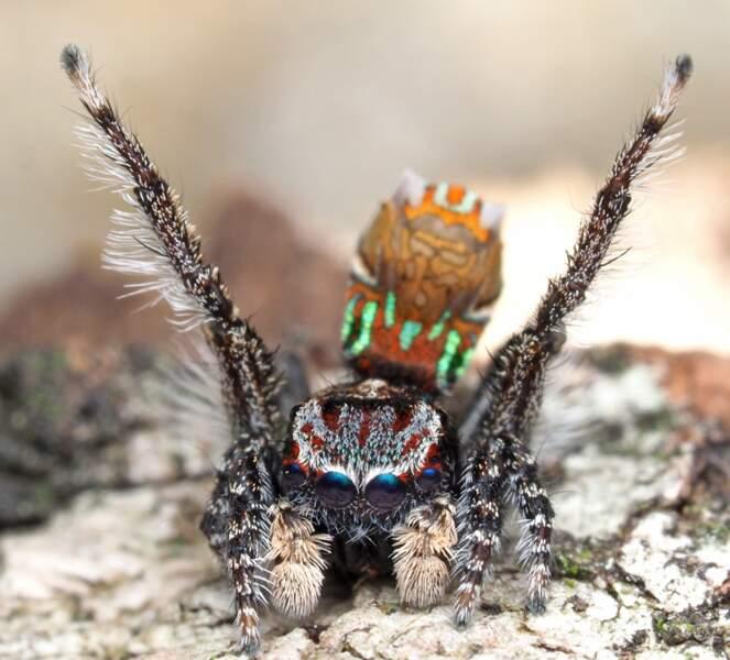 2 - Des araignées paons pleines de couleurs en Australie