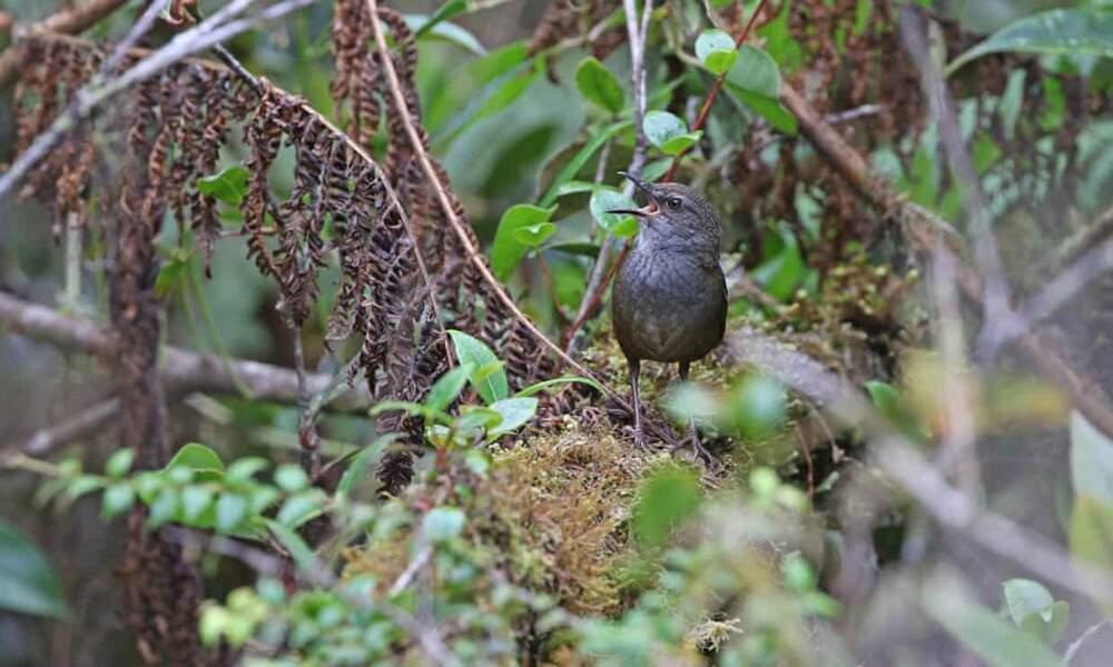 3 - Un oiseau indonésien qui chante comme un criquet
