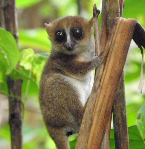 5 - Un petit lémurien aux grands yeux