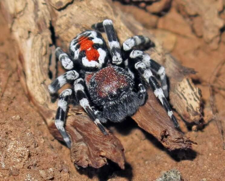 8 - Une araignée qui rend hommage au mythique maquillage du Joker