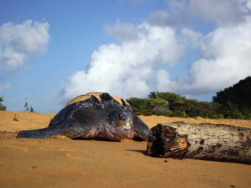 La tortue luth de Guyane
