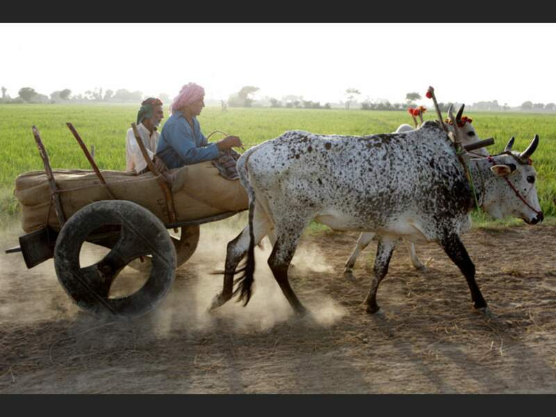 Attelage utilisé par les paysans de l'Indus, au Pakistan