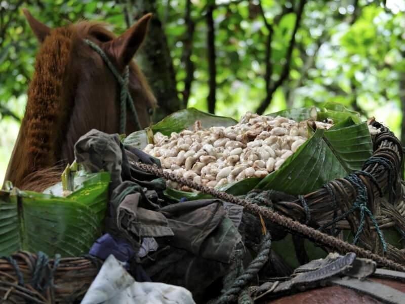 Les fèves sont transportées à dos de mulet jusqu'à la coopérative.
