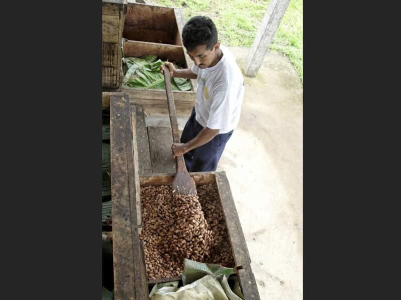 Brassage des fèves dans les bacs de fermentation