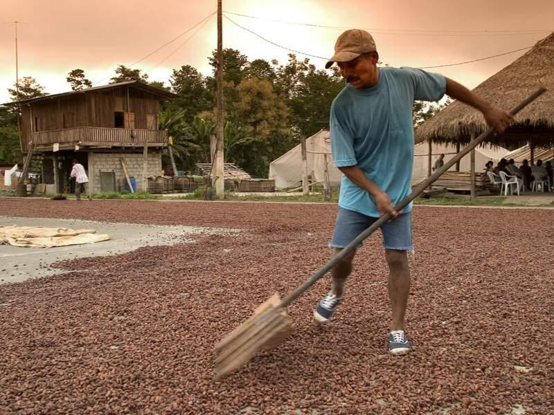 Un homme ratisse les fèves de cacao.
