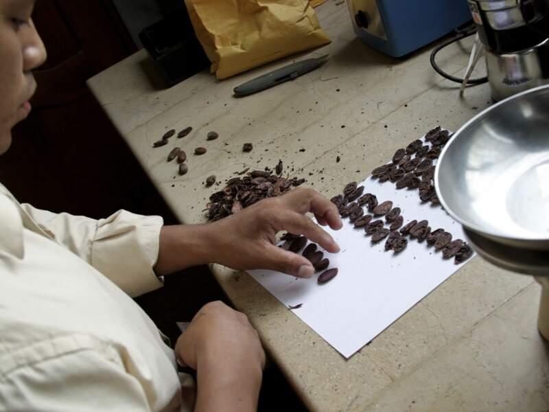 Tests des fèves de cacao