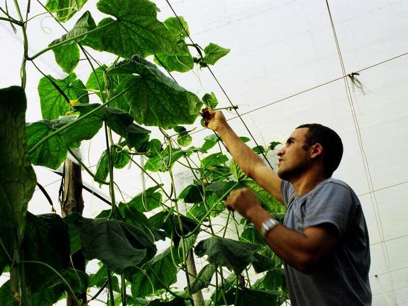 Travailleur immigré régularisé travaillant dans les serres.
