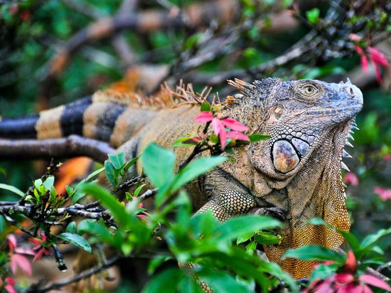 Sur son arbre perché, l'iguane reste impassible