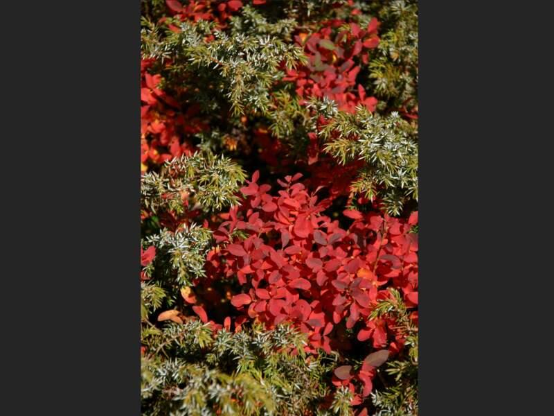 Palette automnale avec les Juniperus et les Myrtilles