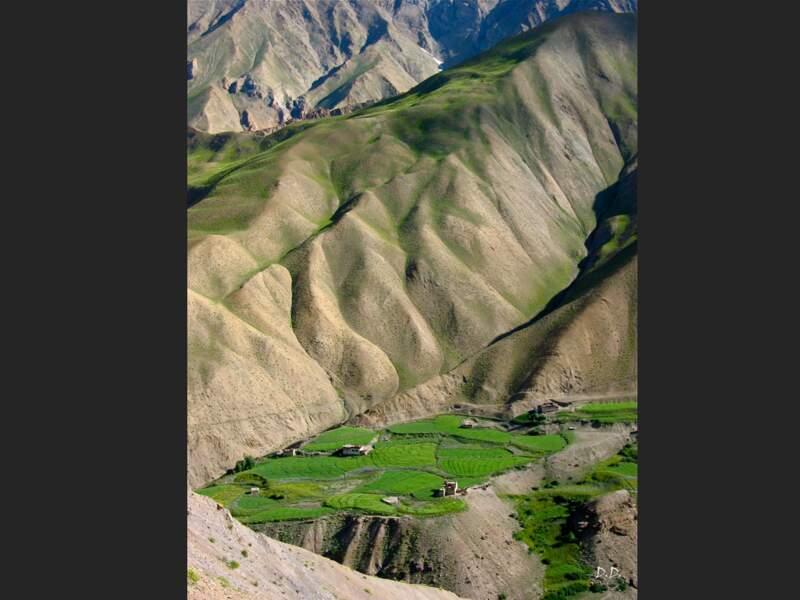 Champs d'orge dans la région du Zanskar, en Inde
