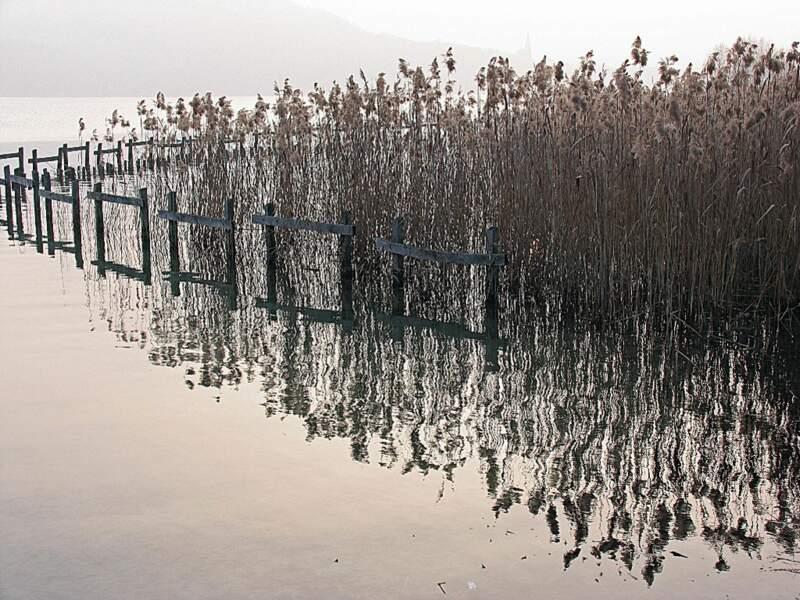 Les roselières sont typiques de la flore du lac d'Annecy (Rhône-Alpes, France).