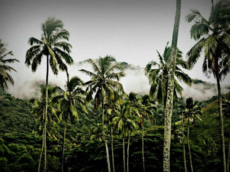Palmeraie sur la route de Poé, dans la région de Bourail, en Nouvelle-Calédonie