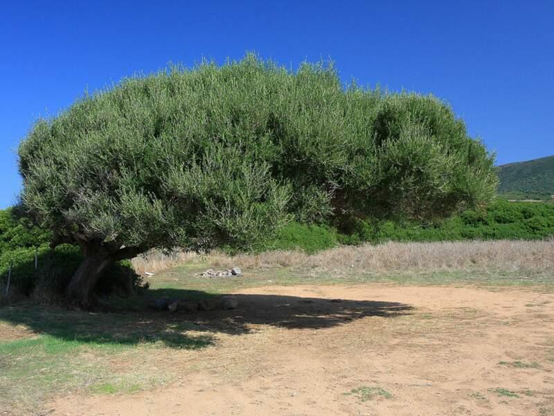 Un arbre qui a poussé malgré le vent à Capo Pecora, en Sardaigne, en Italie.