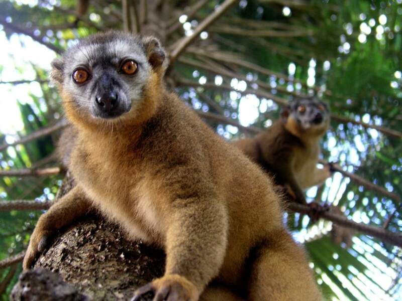 Habitués à vivre dans les alentours des villes, les lémuriens ne rechignent pas à prendre la pose pour les photographes.