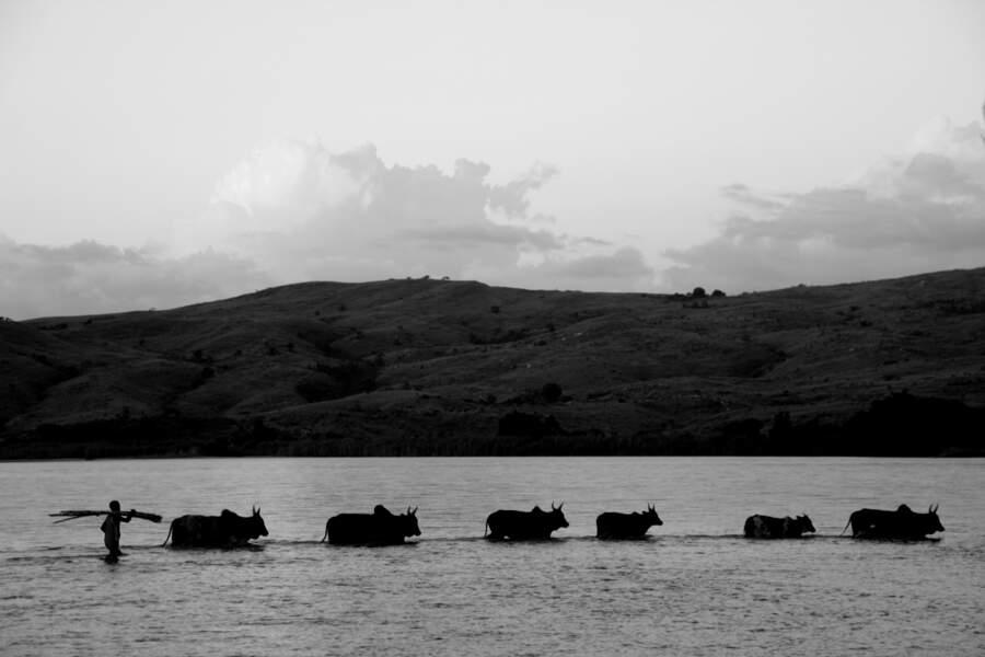 Chaque jour, des dizaines de paysans malgaches franchissent le gué de la grande rivière Mahajilo pour ramener leur troupeau au village de Betafo.