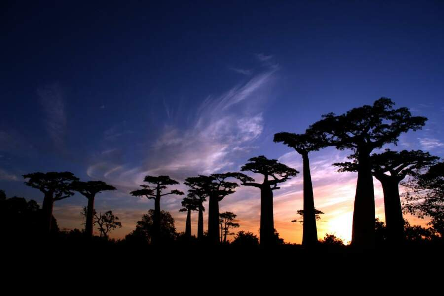 La majestueuse allée des baobabs, près de Morondova. Les branches de ces arbres géants semblent liées au ciel par un fil invisible.