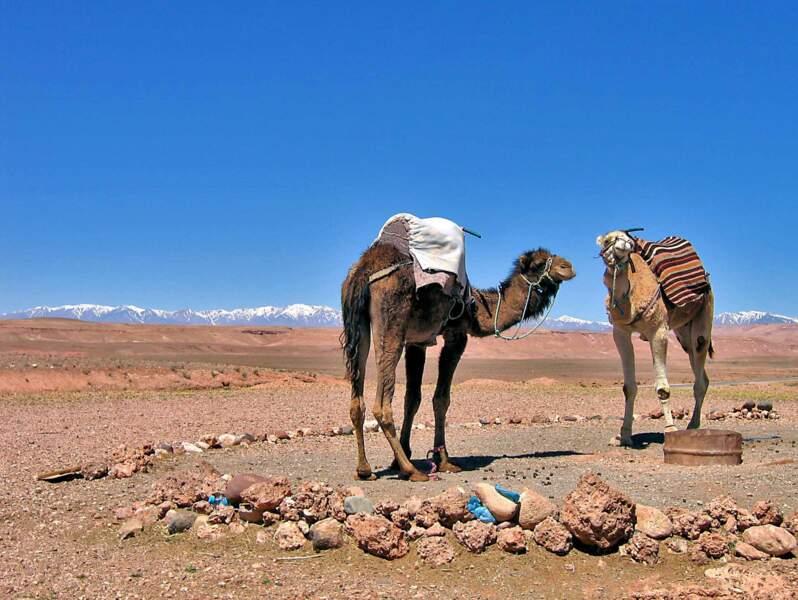 Des dromadaires dans la région de Ouarzazate, au Maroc
