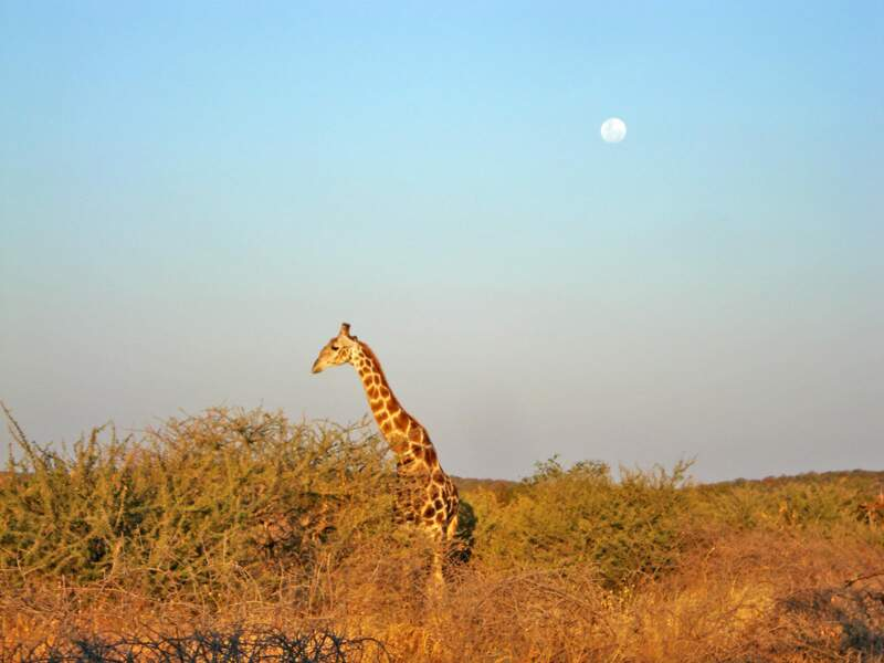 Girafe en Namibie