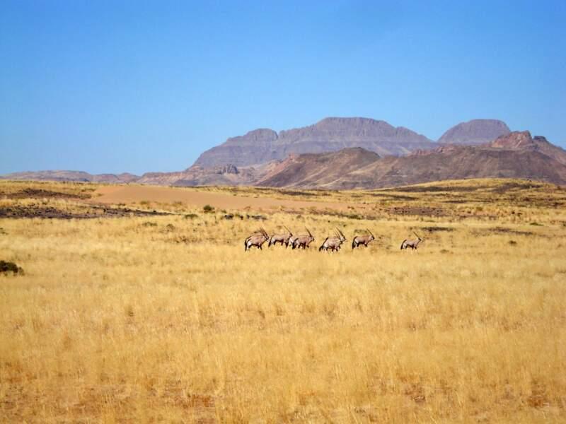 Oryx dans les plaines de Namibie