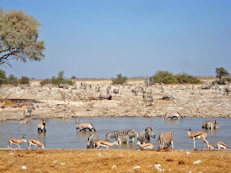 Scène de vie animale en Namibie