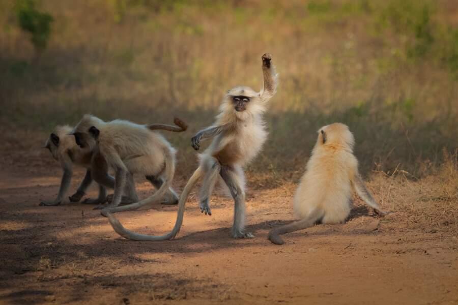 Langurs pas monotones dans le parc national de Tadoba, en Inde