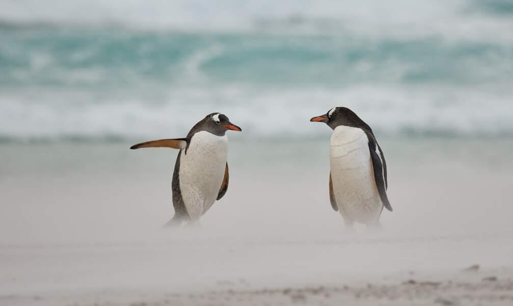 Débat animé entre deux manchots papous des îles Malouines